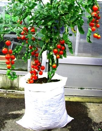 トマト 方法 ミニ 栽培