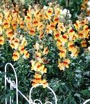 Antirrhinum_red&orange.jpg