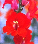 Antirrhinum_tinkerbell_antique.jpg