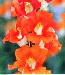 Antirrhinum_tinkerbell_orange.jpg