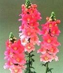 Antirrhinum_tinkerbell_pink.jpg