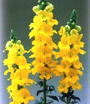 Antirrhinum_tinkerbell_yellow.jpg