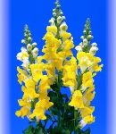 Antirrhinum_yellow.jpg