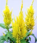 Celosia_yari_yellow.jpg