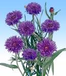 Centaurea_blue.jpg