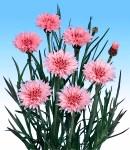 Centaurea_pink.jpg