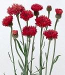 Centaurea_red.jpg