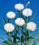 Centaurea_white.jpg