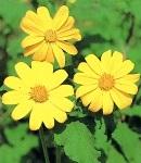 Chitonia_yellow.jpg