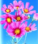 Cosmos_rose.jpg