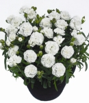Dianthus caryophyllus_1_130×150.jpg