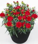 Dianthus caryophyllus_2_130×150.jpg