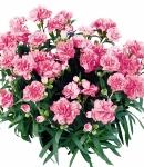Dianthus caryophyllus_3_130×150.jpg