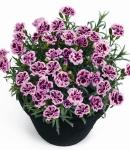 Dianthus caryophyllus_5_130×150.jpg