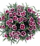 Dianthus caryophyllus_6_130×150.jpg