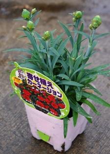 Dianthus caryophyllus_pot_225×314.jpg