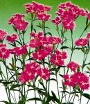 Dianthus_pink.jpg