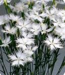 Dianthus_white.jpg