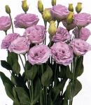 Eustoma_Rosina_lavender.jpg