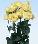 Eustoma_Rosina_yellow.jpg