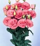 Eustoma_double_rose.jpg