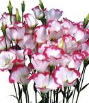 Eustoma_single_pinkpico1.jpg