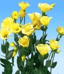 Eustoma_single_yellow.jpg