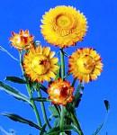 Helichrysum.jpg