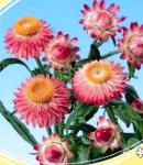 Helichrysum_pink.jpg