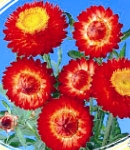 Helichrysum_red.jpg