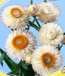 Helichrysum_white.jpg
