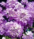 Iberis lilac.jpg