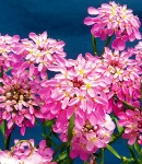 Iberis pink.jpg