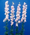 Larkspur 2color.JPG