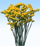Limonium yellow.jpg