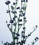 Solanum_black.jpg