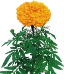 Tagetes_orange.jpg