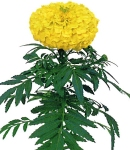 Tagetes_yellow.jpg