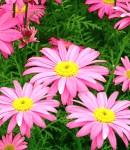 Tanacetum_pink.jpg