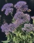 Trachelium_purple.jpg