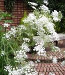 Whiteraceflower.JPG
