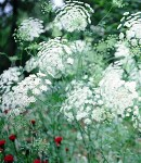 Whiteraceflower2.jpg