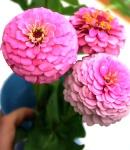 Zinnia_N_pink.JPG