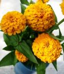 Zinnia_N_yellow.JPG