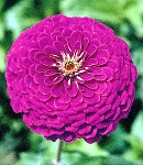 Zinnia_purple.jpg