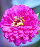 Zinnia_rose_.jpg