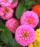 Zinnia_small_pink2.JPG