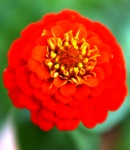 Zinnia_small_red.JPG