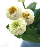 Zinnia_small_white2.JPG