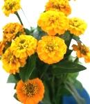 Zinnia_small_yellow2.JPG